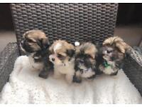 KC Registered Lhasa Apso boy puppies READY NOW