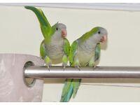 Baby Quaker talking parrots