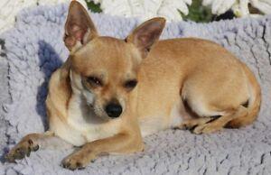 Chihuahua female for sale