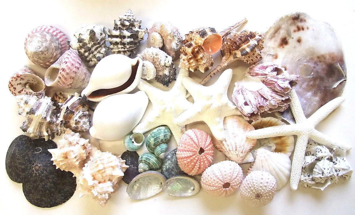 18 Sorten Muscheln Schnecken Seesterne Seeigel Seepocken oder Mix Aquarium Deko