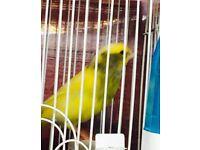 Singing Greenfinch mule bird