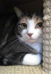 "Young Female Cat - Domestic Short Hair: ""Jewel"""