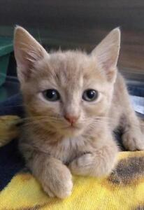 "Baby Male Cat - Domestic Short Hair: ""Tesla"""