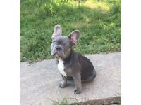 Last lilac male fluffy carrier French bulldog pup READY NOW