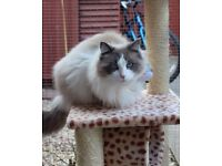 Ragdoll Male is looking for a new home