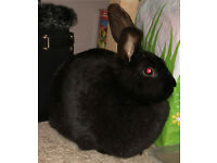 Lop Rabbits for sale