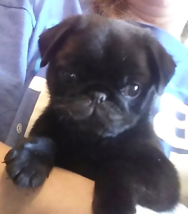 Home raised Purebred Registered Black Female Pug Puppy