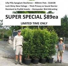 Lilly Pilly Syzygium Ass Varieties & Sizes FROM $12 Privacy Hedge Mudgeeraba Gold Coast South Preview