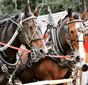 Clydesdale x Team
