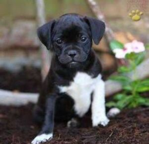 WANTED JUG ! Jack Russle x pug Belmont Belmont Area Preview