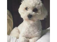 Male Maltese Terrier