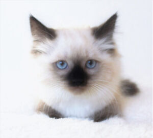 Adorable Baby Ragdoll Male Kittens For Adoption