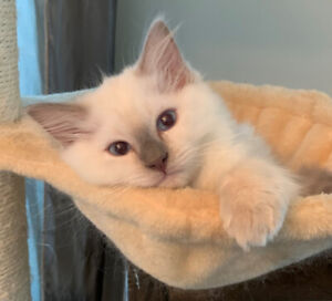 TICA REGISTERED KITTENS WITH LONG HAIR