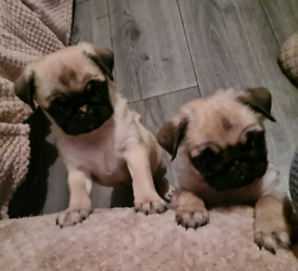 Two gorgeous 10 week old pug pups