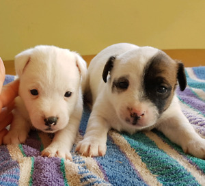 English Jack Russell Puppies for Sale