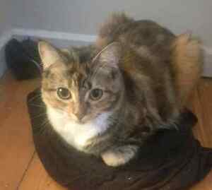 GORGEOUS TORTOISE SHELL CAT LOOKING FOR LOVING HOME Bankstown Bankstown Area Preview