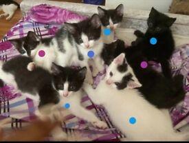 8 Fluffy kittens ready