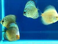 Discus for sale - 3-4 inches - Tropical Fish - from £16.95