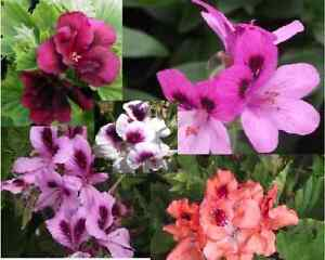 15x-MIXED-PELARGONIUM-GERANIUM-CUTTINGS