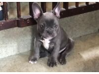 French bulldog KC Puppies