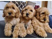 Cockapoo pups
