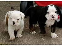Old Tyme x English bulldogs
