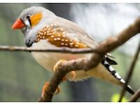 ZEBRA FINCHES £5 Each or 6 birds for £25!!!