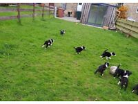 8 Black and White Border Collie puppies, 2 boys and 2 girls
