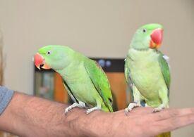 Baby Alexandrian talking parrot. Hand Tamed babies
