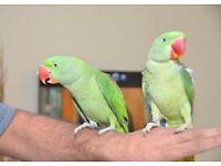 Baby Alexandrian talking parrots. Hand tamed