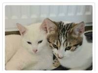 Reserved both Tabby & Pure White Female Kittens