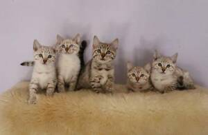 Snow Spotted Bengal kittens, Pedigree Penrith Penrith Area Preview