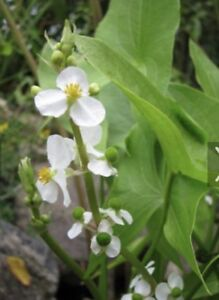 Arrowhead pond plant