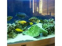 Lake malawi cichlids for sale