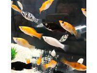 Tropical Fish Guppy Molly Platy Betta Corydoras Rainbow, Swordtail, Gorami.. HOME DELIVERY