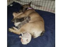KC registered french bulldog puppy cream blue/lilac tan pos carrying pink