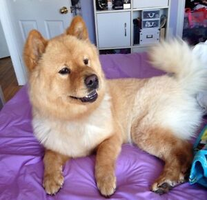 ** 1  male chow chow puppy Left !!1200