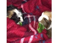 2 male guinea pigs with accessories
