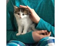 Gone missing in Hamsptead Garden Suburb: kitten Berry
