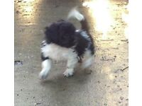 Shih Tau X Chihuahua