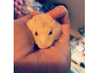 *RESERVED UNTIL SATURDAY* beautiful friendly hamster needs new home