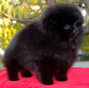 CKC registered Pomeranian puppies