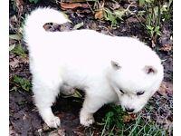 Siberian Husky Puppy's for Sale