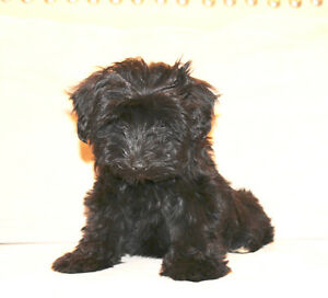 Gorgeous Poodle cross puppies!!