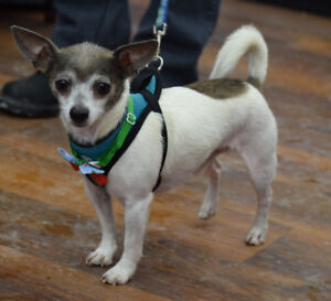 **Handsome Pete - CHIHUAHUA cross is available for adoption***