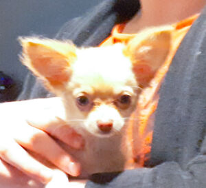 Adorable Long-Haired Teacup Chihuahua Puppy