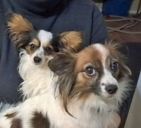 Reduced price for purebreed papillon pups.ready for xmas