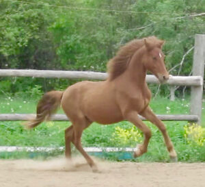 Beautiful, Well Handled Morgan Yearling Gelding For Sale