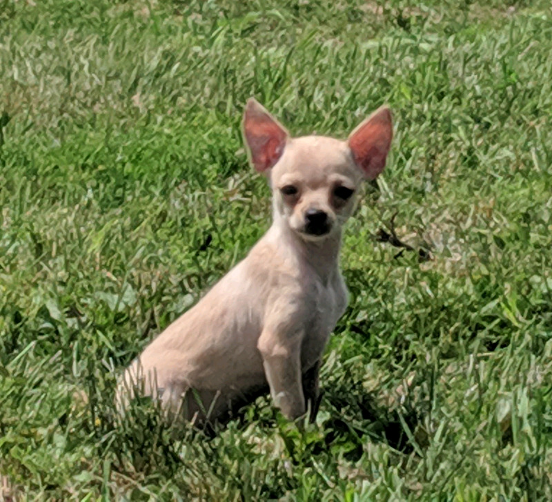 Chihuahua Puppies Teacups Great Price Dogs Puppies For