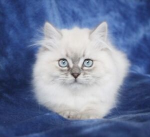 Blue Eyed PERSIAN Kittens for Adoption - Two Boys